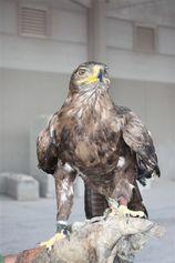 Valkerij Ardanwen - Foto's - Eagles